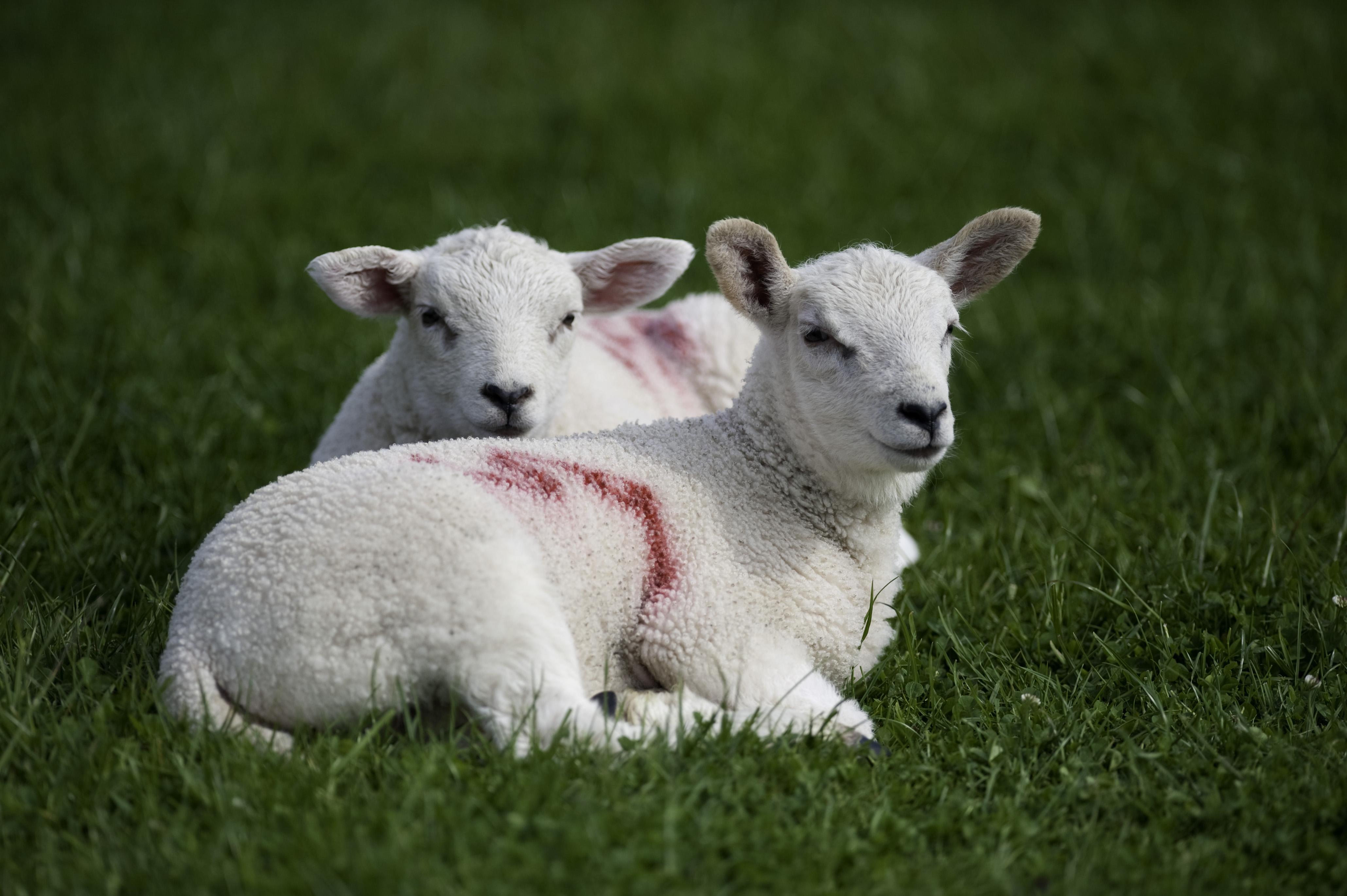Rumenco lambs