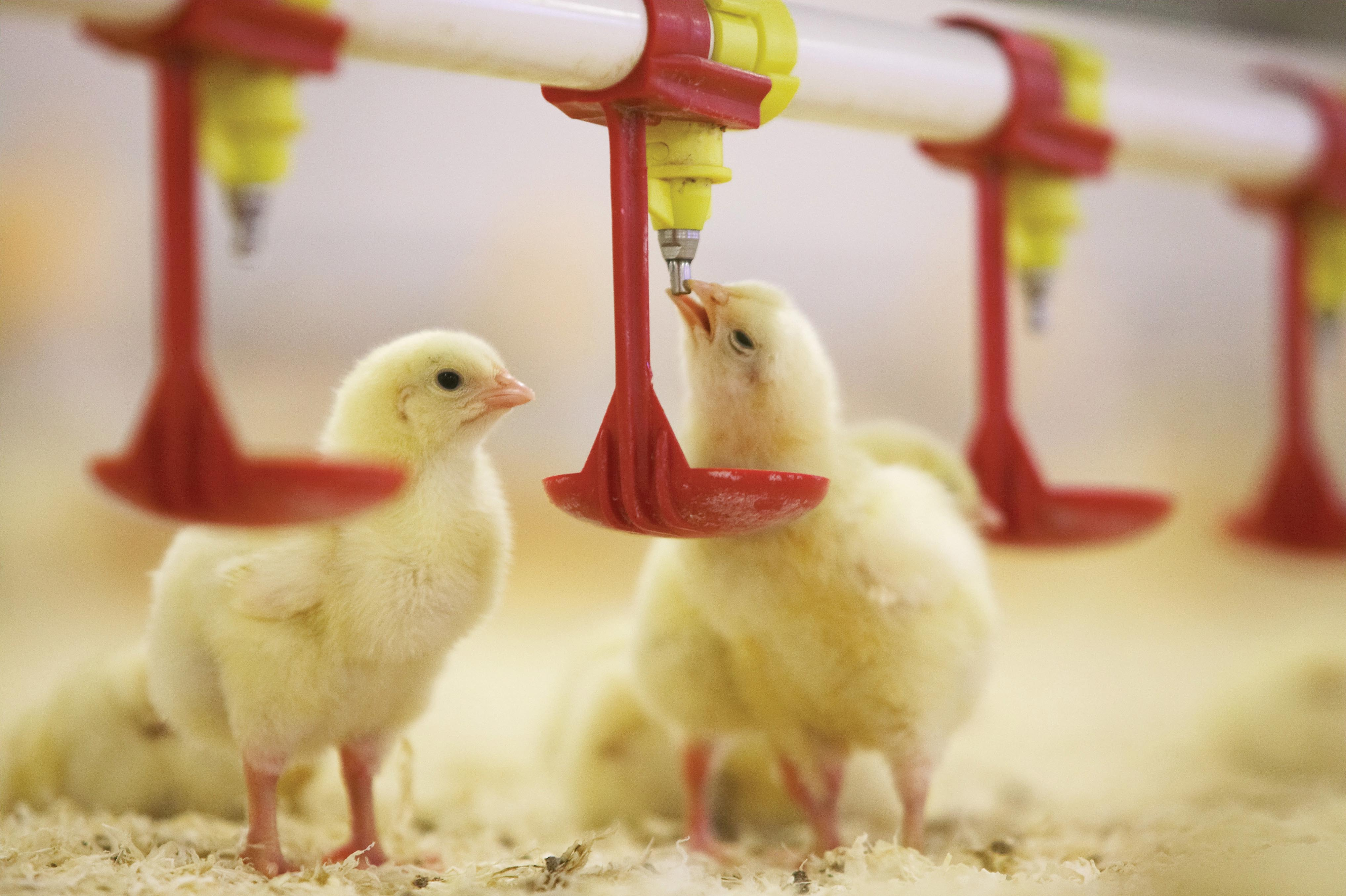 Rumenco Nettex chickens poultry